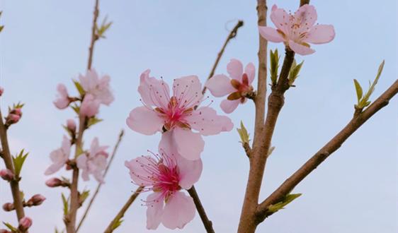 """国产樱桃迎来上市季 冷链、包装加持""""鲜""""到千万家"""